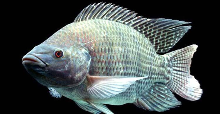 তেলাপিয়া মাছ নিয়ে গবেষণায় কী পেলেন গবেষকরা?